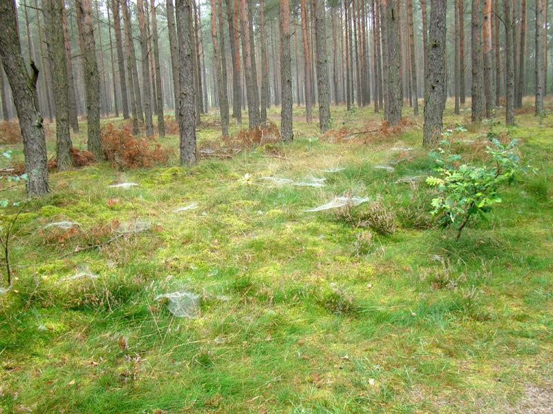 pajęczyny w podszycie lasu we wrześniu