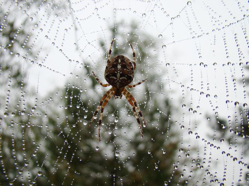 pająk krzyżak na środku pajęczyny
