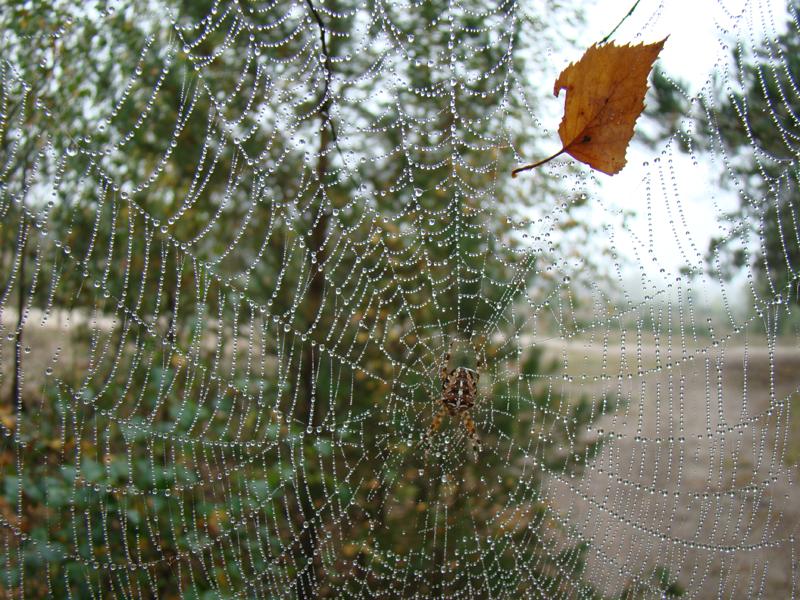 pająk krzyżak na pajęczynie