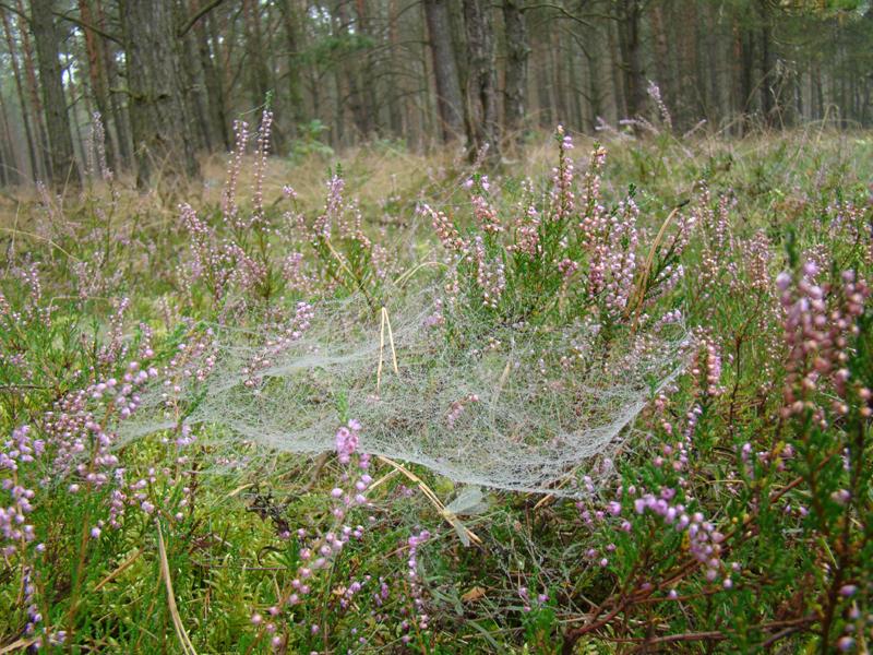 pajęczyny na wrzosach w jesiennym lesie