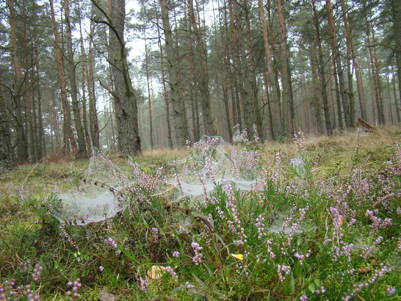 poranek w lesie z pajęczynami na wrzosach