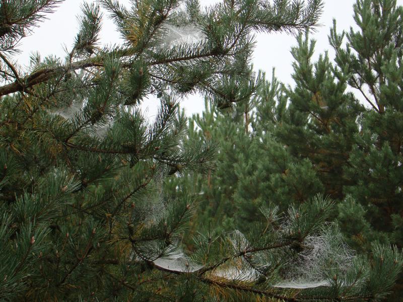 pajęczyna na sośnie