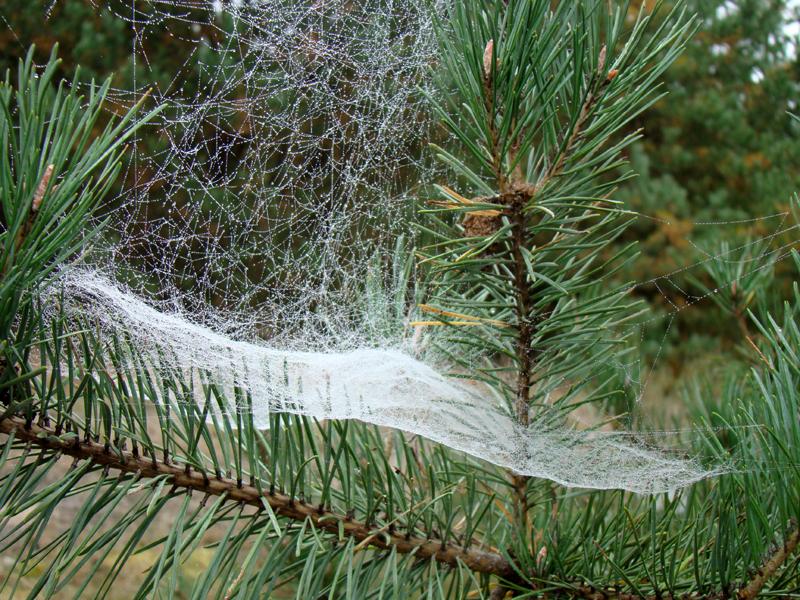 pajęczyna na gałęzi sosny