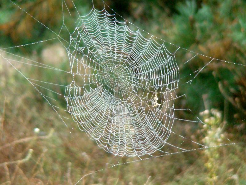 pajęczyna krzyżaka ogrodowego